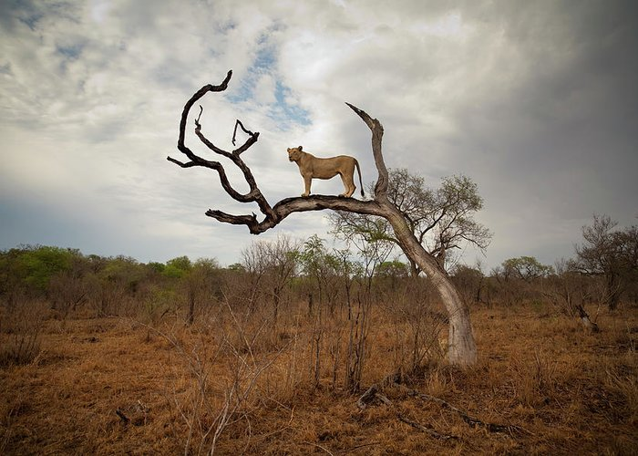 Scenics Greeting Card featuring the photograph A Female Lion Standing On Bare Branch by Sean Russell