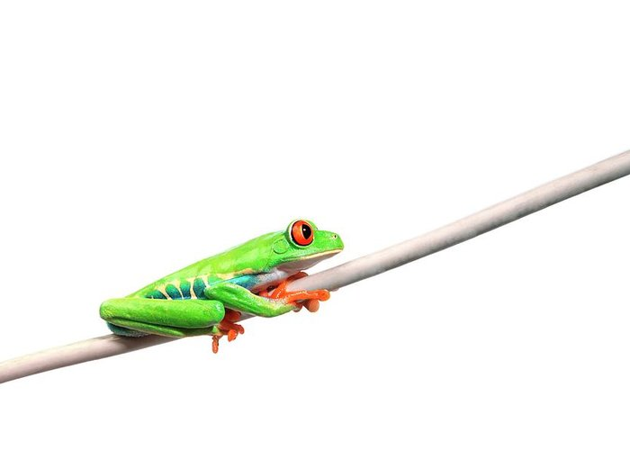 Rope Greeting Card featuring the photograph A Frog Hanging On by Design Pics/corey Hochachka