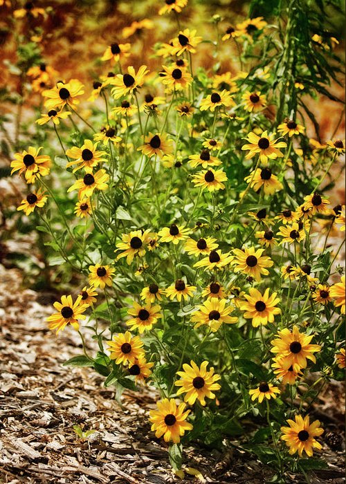 Rockville Greeting Card featuring the photograph A Group Of Bossoming Black-eyed Susans by Maria Mosolova