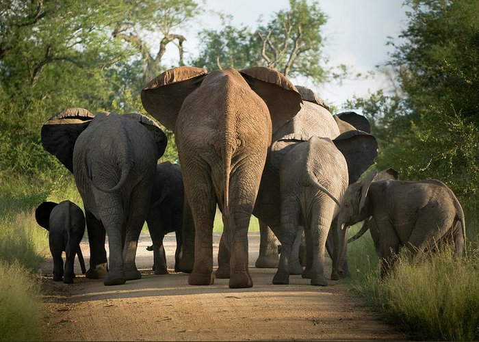 Cow Greeting Card featuring the photograph A Herd Of Elephants Heading Away From Us by Jono0001