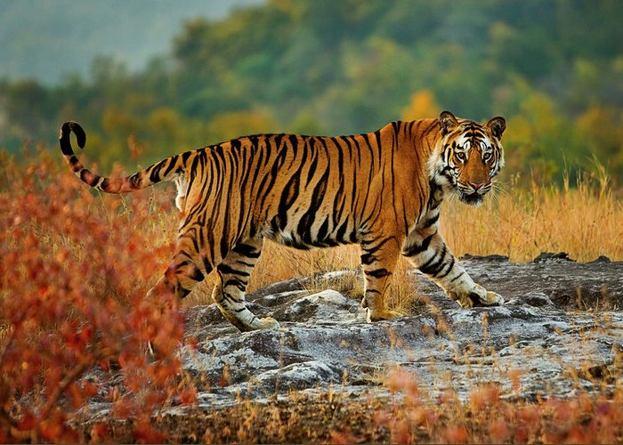 Vertebrate Greeting Card featuring the photograph A Large Tiger In Bandhavgarh National by Mint Images - Art Wolfe