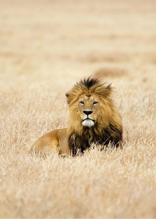 Grass Greeting Card featuring the photograph A Lion by Sean Russell