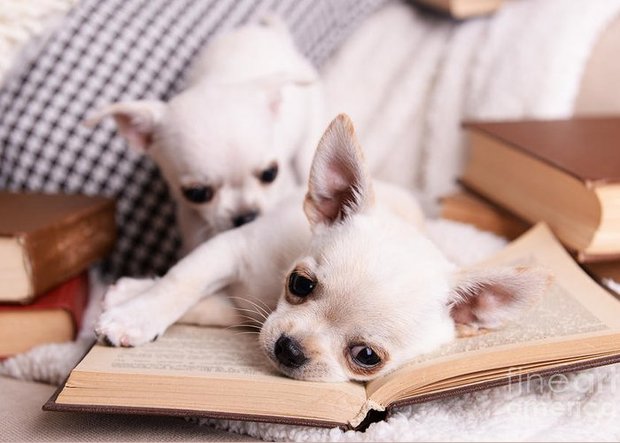 Small Greeting Card featuring the photograph Adorable Chihuahua Dogs With Books On by Africa Studio