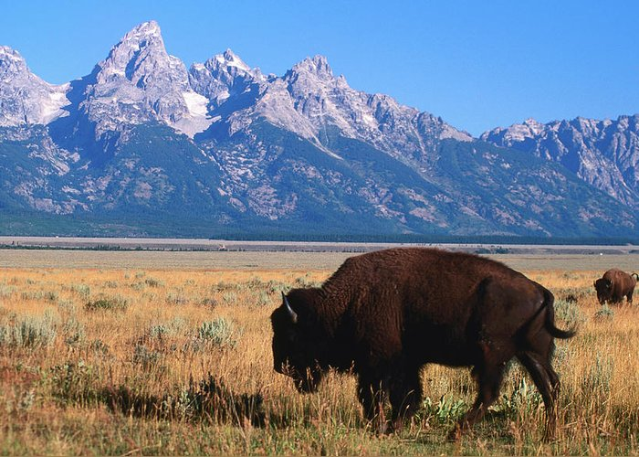 Toughness Greeting Card featuring the photograph American Bison Bison Bison On Antelope by David C Tomlinson