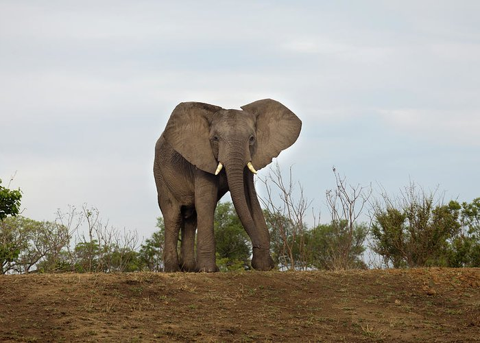 Animal Trunk Greeting Card featuring the photograph An African Elephant Walking Towards by Sean Russell