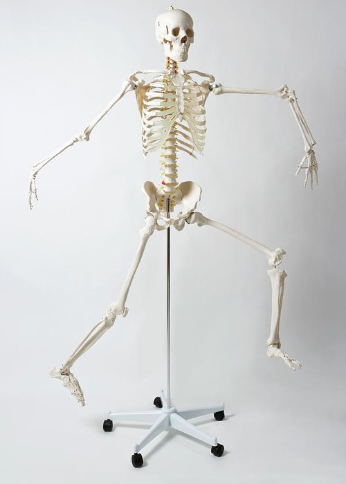 Hanging Greeting Card featuring the photograph An Anatomical Skeleton Model Running by Rachel De Joode