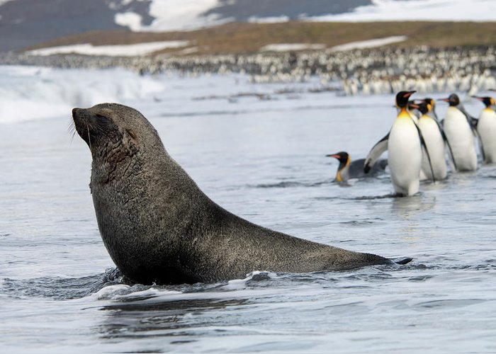 Water's Edge Greeting Card featuring the photograph An Antarctic Fur Seal, Arctocephalus by Mint Images - David Schultz