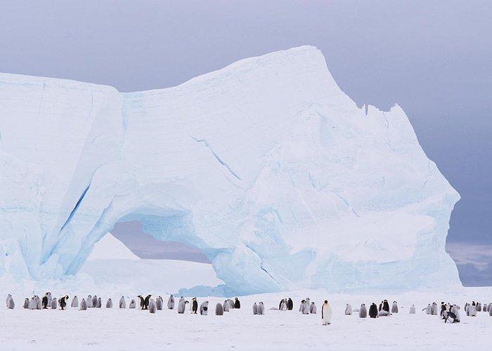 Emperor Penguin Greeting Card featuring the photograph Antarctica, Emperor Penguin Aptenodytes by Joseph Van Os
