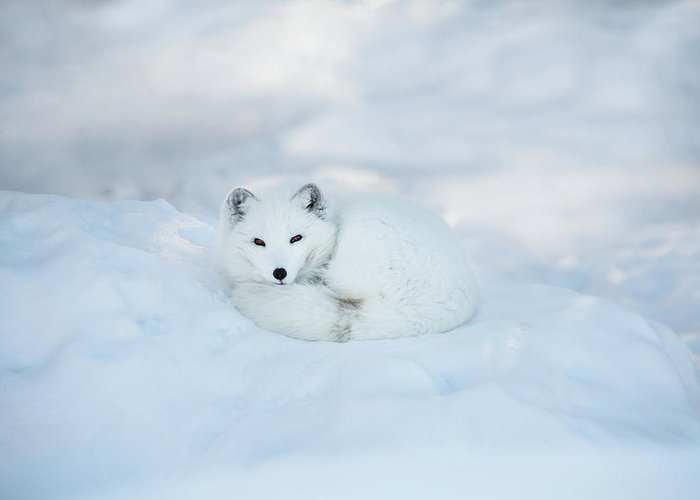 Svalbard Islands Greeting Card featuring the photograph Arctic Fox Resting In The Snow by Seppfriedhuber