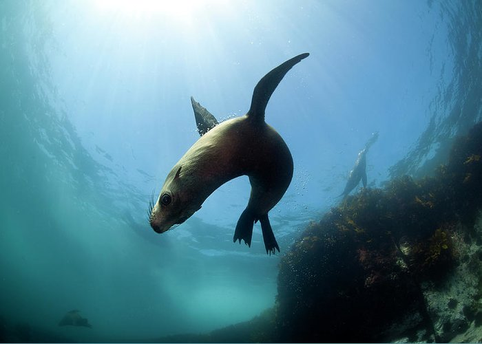 Underwater Greeting Card featuring the photograph Australian Fur Seal With Sun Burst by Alastair Pollock Photography