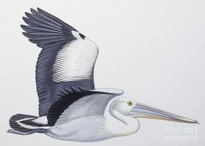 American White Pelican Greeting Cards