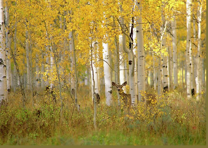 Vertebrate Greeting Card featuring the photograph Autumn In Uinta National Forest. A Deer by Mint Images - David Schultz