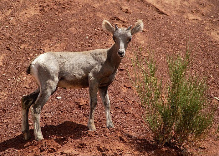 Bighorn Sheep Greeting Card featuring the photograph Baby Bighorn 2 by Marie Leslie