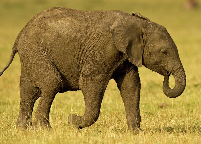 Following Greeting Card featuring the photograph Baby Elephant Following The Herd On The by Manoj Shah
