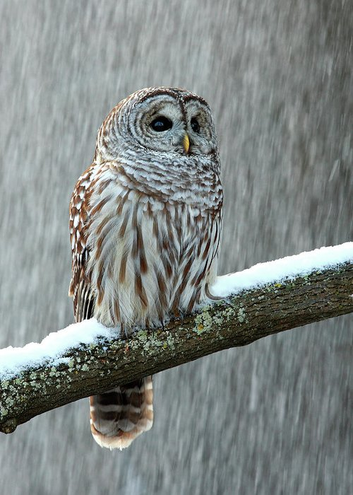 Alertness Greeting Card featuring the photograph Barred Owl In The Snow by Alex Thomson Photography
