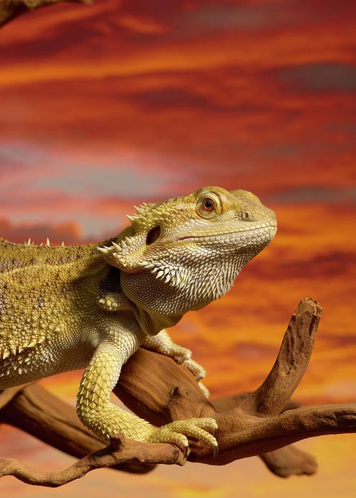 Pets Greeting Card featuring the photograph Bearded Dragon Pogona Vitticeps On by Don Farrall
