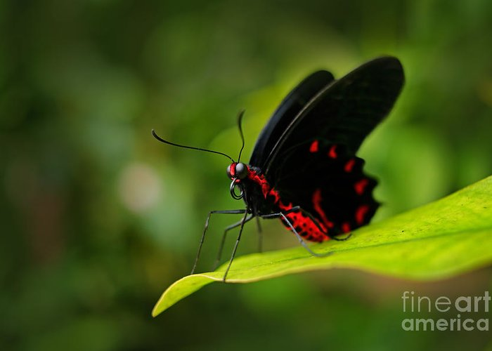 Beauty Greeting Card featuring the photograph Beautiful Black And Red Poison by Ondrej Prosicky
