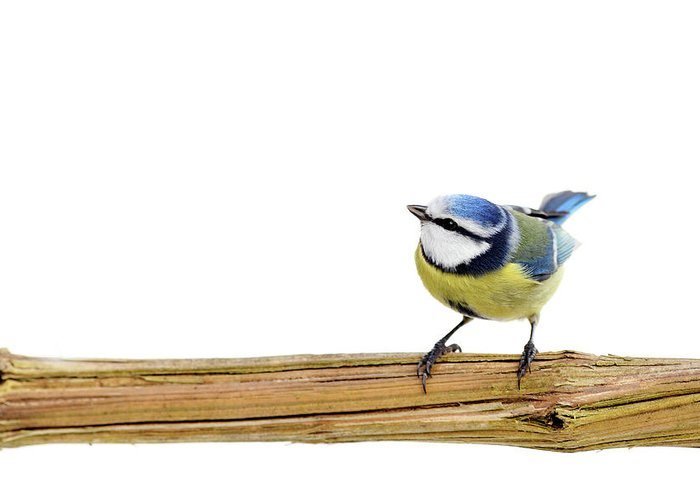 White Background Greeting Card featuring the photograph Beautiful Blue Tit by Marceltb
