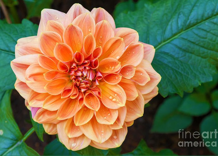 Drop Greeting Card featuring the photograph Beautiful Dahlia Flower And Water Drop by Luckypic