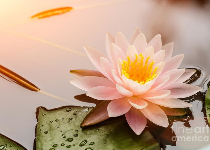 Romance Greeting Card featuring the photograph Beautiful Waterlily Or Lotus Flower by Zhao Jiankang
