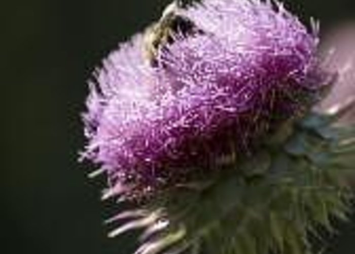 Bee Greeting Card featuring the photograph Bee on Thistle by Nancy Ayanna Wyatt
