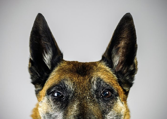 Pets Greeting Card featuring the photograph Belgian Sheperd Malinois Dog Looking At by Joan Vicent Cantó Roig
