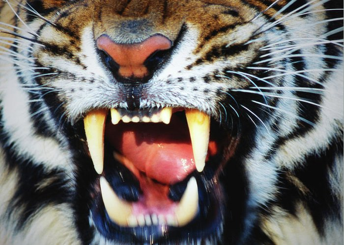 Snarling Greeting Card featuring the photograph Bengal Tiger Panthera Tigris Tigris by Mike Hill