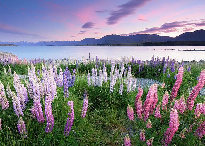 Dawn Greeting Card featuring the photograph Berry Dawn At Lake Tekapo, New Zealand by Atomiczen
