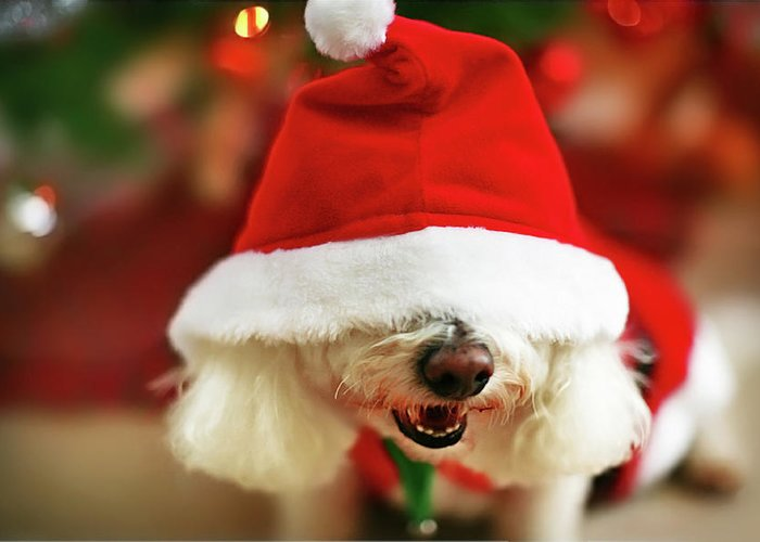 Pets Greeting Card featuring the photograph Bichon Frise Dog In Santa Hat At by Nicole Kucera