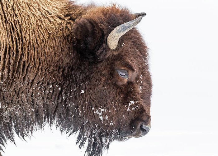Vertebrate Greeting Card featuring the photograph Bison In Winter by Kencanning