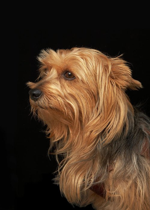 Pets Greeting Card featuring the photograph Black And Brown Yorkie Left Profile On by M Photo