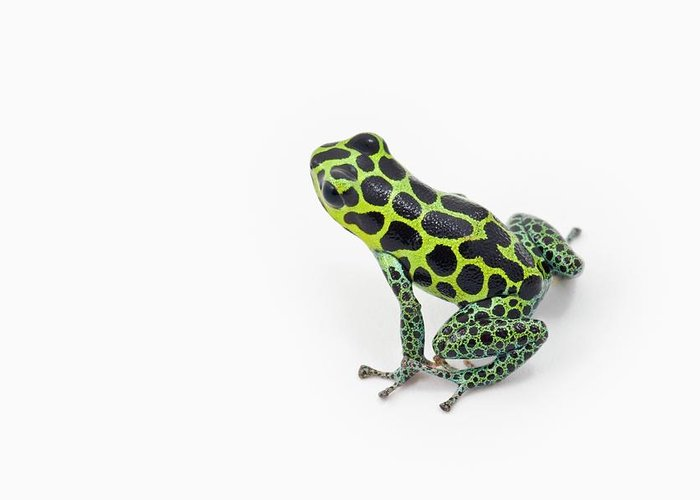 White Background Greeting Card featuring the photograph Black Spotted Green Poison Dart Frog by Design Pics / Corey Hochachka
