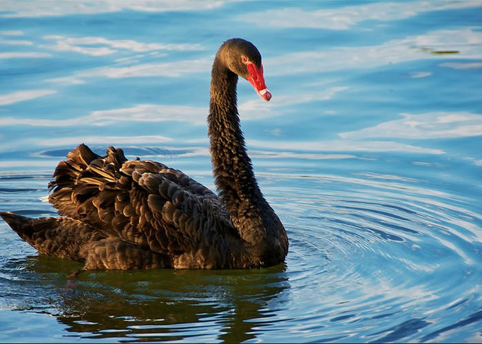 Black Swan Greeting Card featuring the photograph Black Swan Making Ripples by Zayne Diamond Photographic