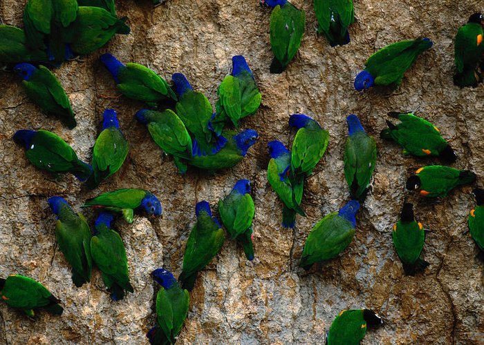 Blue Headed Parrot Greeting Card featuring the photograph Blue-headed And Barrabands Parrots by Art Wolfe