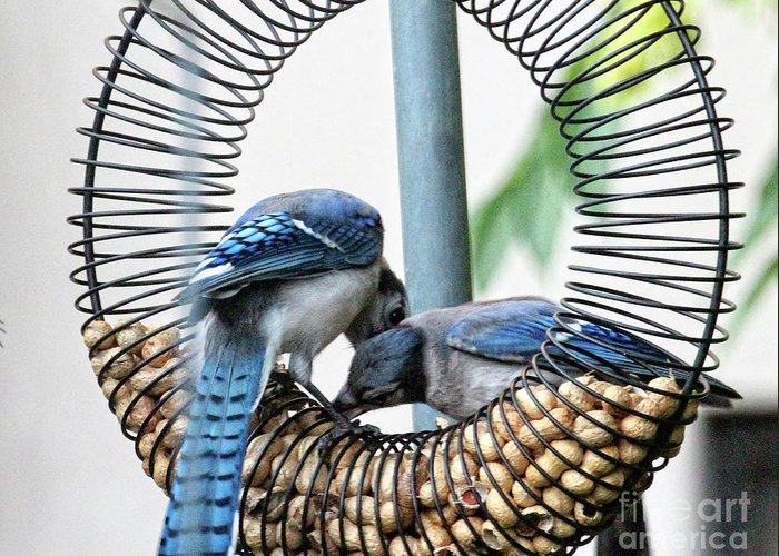 Female Blue Jay Greeting Card featuring the photograph Blue Jays Wooing 1 by Patricia Youngquist