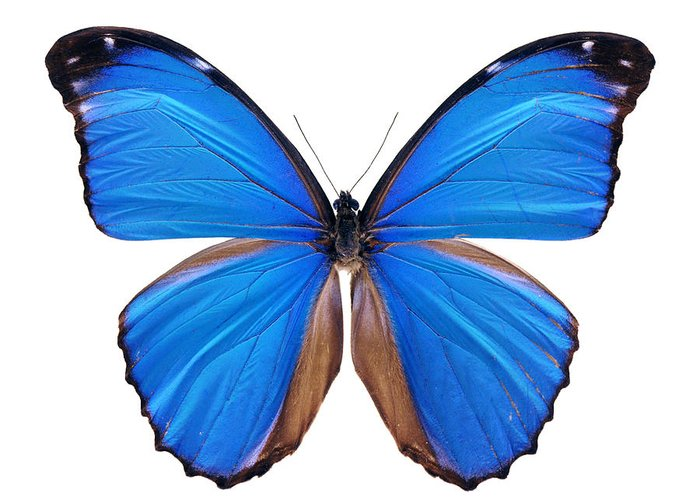 Amazon Rainforest Greeting Card featuring the photograph Blue Morpho Butterfly - Large by Phototalk