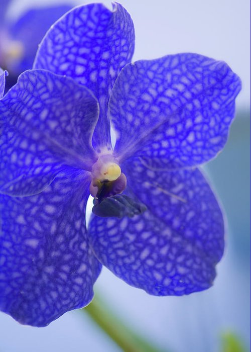 Rockville Greeting Card featuring the photograph Blue Vanda Orchid Flower Close-up by Maria Mosolova