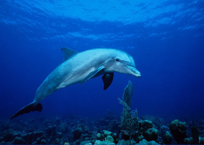 Underwater Greeting Card featuring the photograph Bottlenose Dolphin,tursiops by Gerard Soury
