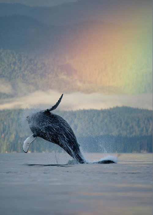 Animal Themes Greeting Card featuring the photograph Breaching Humpback Whale And Rainbow by Paul Souders