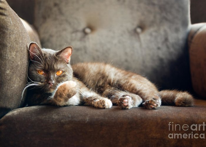 Fur Greeting Card featuring the photograph British Cat At Home by Nina Anna