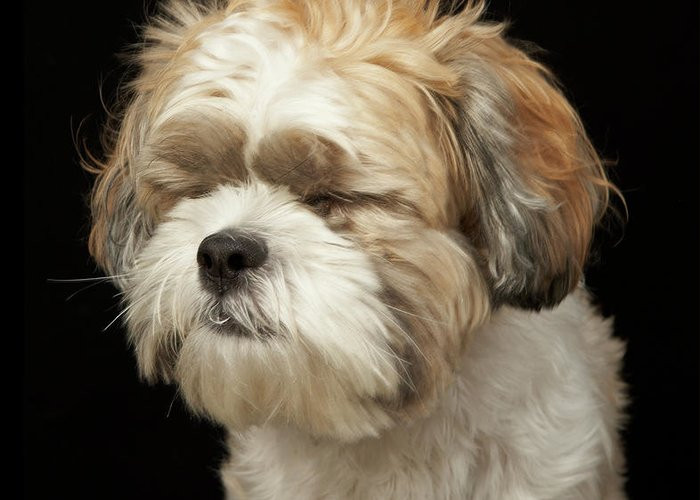 Pets Greeting Card featuring the photograph Brown And White Shih Tzu With Eyes by M Photo