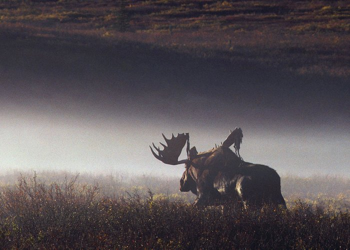 Majestic Greeting Card featuring the photograph Bull Moose Alces Alces Walking Through by Johnny Johnson