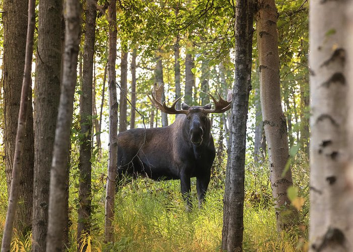 Alaska Greeting Card featuring the photograph Bull Moose In Fall Forest by Scott Slone