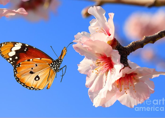 Collage Greeting Card featuring the photograph Butterfly And Pink Almond Tree Blossom by Protasov An
