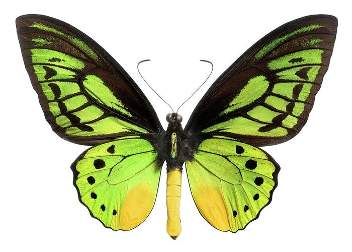 White Background Greeting Card featuring the photograph Butterfly Lepidoptera With Green, Black by Flamingpumpkin