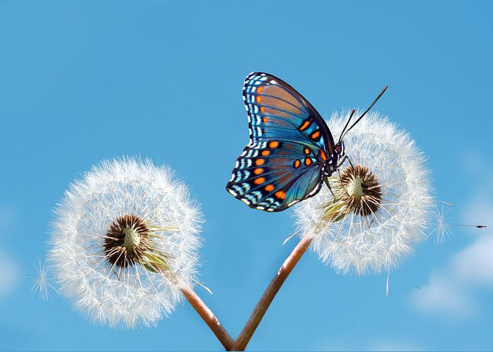 Animal Themes Greeting Card featuring the photograph Butterfly On Dandelion by Maria Wachala