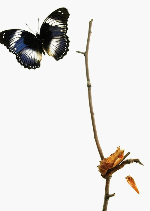 White Background Greeting Card featuring the photograph Butterfly Transformation by David Arky