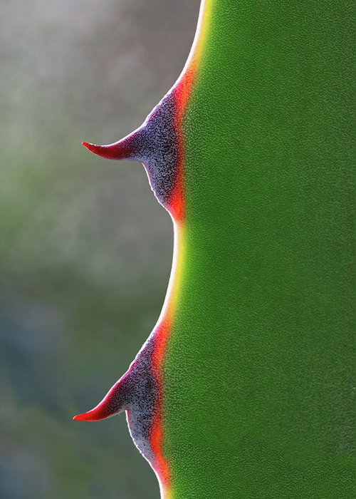 Needle Greeting Card featuring the photograph Cactus by Patricia Fenn Gallery