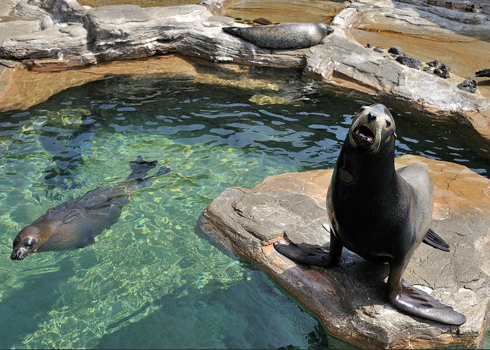 Sea Lion Greeting Card featuring the photograph California Sea Lion And Spotted Seal by T. Nakamura Volvox Inc.