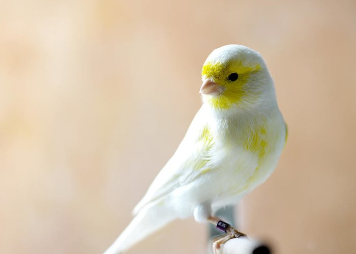 Feather Greeting Card featuring the photograph Canary Bird Sitting On A Twig by Pieropoma